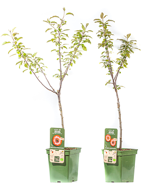 Mein schöner Garten Apfelbaum 2er-Set 'Redlove'