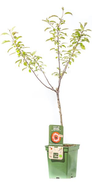 Mein schöner Garten Apfelbaum 'Redlove® Circe®'