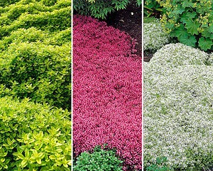 Mein Schöner Garten Bodendecker-Thymian-Set, 9 Pflanzen