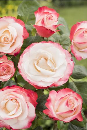 Mein schöner Garten Edelrose 'Nostalgie'