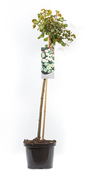 Mein schöner Garten Floribundarose 'Kristal'