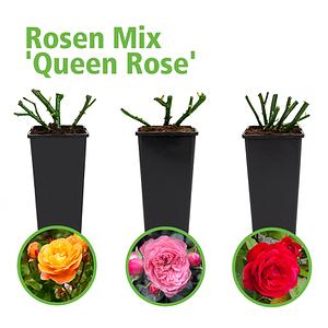 Mein schöner Garten Großblumige Rosen 3er-Set 'Queen Rose'