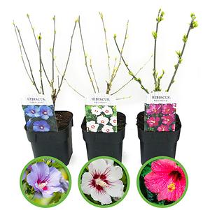 Mein schöner Garten Hibiscus 3er-Set 'Summer Nights'