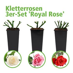 Mein schöner Garten Kletterrosen 3er-Set 'Royal Rose'
