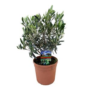 Mein schöner Garten Olivenbäumchen