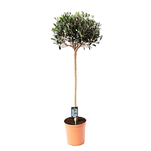 Mein schöner Garten Olivenbaum