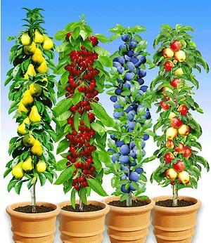Mein schöner Garten Säulenobst Kollektion, 4 Pflanzen