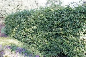 Mein schöner Garten Schnellwachsende Hecke im Set, 30 Pflanzen