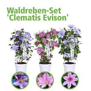 Mein schöner Garten Waldreben-Set Exklusive Dauerblüher 'Clematis Evison'
