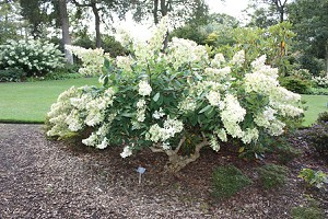 Midi-Hydrangeasy® Grandiflora
