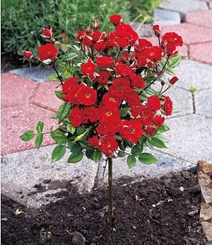 Mini-Stammrose Rot,1 Pflanze