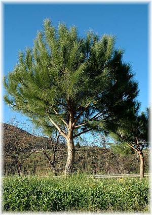 Mittelmeer pinie pinus pinea g nstig online kaufen mein for Gartendekor pinie