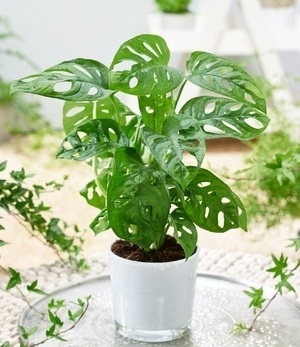 "Monstera ""Monkey Leaf"",1 Pflanze"