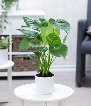 Monstera,1 Pflanze