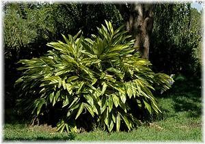 Muschelingwer Alpinia zerumbet ´Variegata`