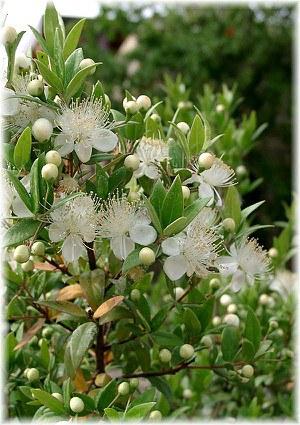 Myrte Myrtus communis