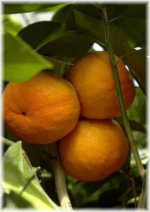 Nabel-Orange Citrus sinensis ´Navel`
