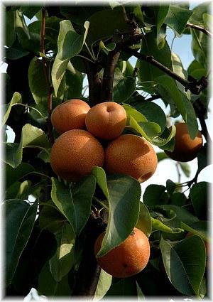 Nashi, Sorte Hosui Pyrus pyrifolia var culta ´Hosui`