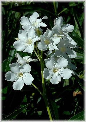Oleander Nerium oleander