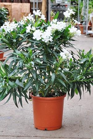 Oleander (weiß)