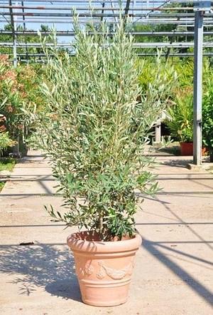 Olivenbaum (Hojiblanca) Busch frosthart - Olea europea Hojiblanca