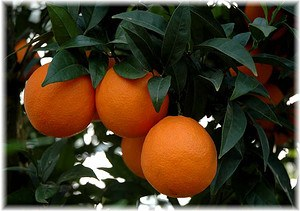 Orange Valencia Citrus sinensis ´Valencia Late`