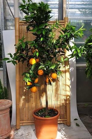 Orangenbaum aus Italien - Citrus sinensis Arancio