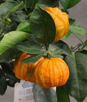 Orangenbaum (Sauerorange) - Citrus sinensis Arancio Corrugato