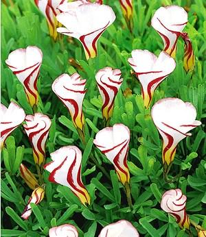 Oxalis versicolor,8 St.