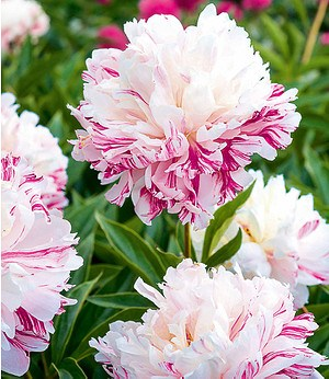 "Paeonia ""Candy Stripe®"",1 Knolle"