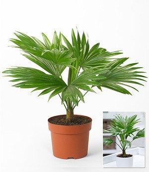 """Palme """"Livistona Rotundifolia"""",1 Pflanze"""