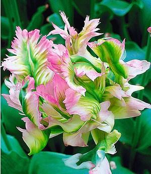 "Papageien-Tulpe ""Green Wave"",5 Zwiebeln"