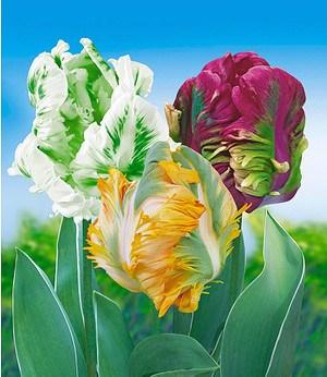 Papageien-Tulpen-Kollektion,24 Stück