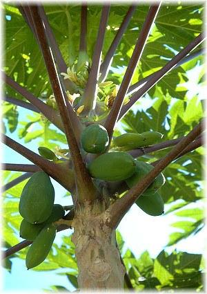 papayas g nstig online kaufen mein sch ner garten shop