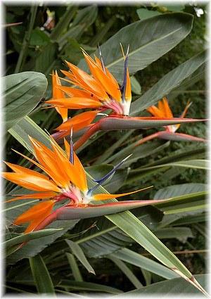 Paradiesvogelblume,Strelitzie Strelitzia reginae