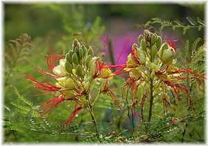 Paradiesvogelbusch Caesalpinia gilliesii