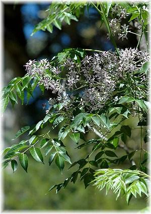 Paternosterbaum Melia azedarach