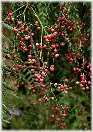 Peruanischer Pfefferbaum Schinus molle