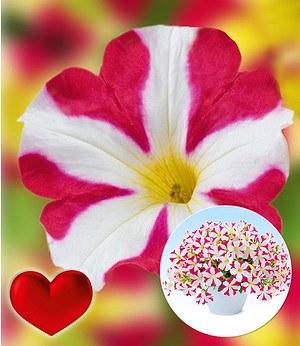 """Petunie """"Amore® Mio"""",3 Pflanzen"""