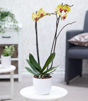 "Phalaenopsis Orchidee, 2 Triebe, ""Gelb"",1 Pflanze"