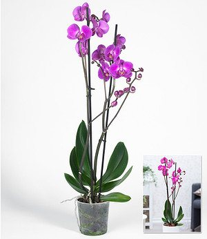 "Phalaenopsis Orchidee, 2 Triebe, ""Rosa"",1 Pflanze"