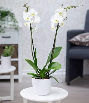 "Phalaenopsis Orchidee, 2 Triebe, ""Weiß"",1 Pflanze"