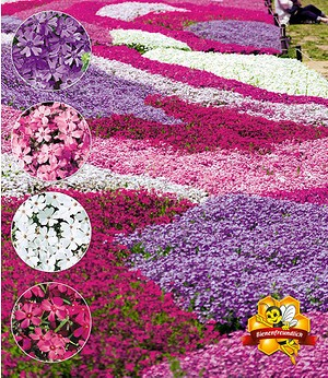 "Phlox-Mix ""Flowers of the Sea"",4 Pflanzen"