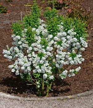 "Prunkspiere ""Magical Springtime"",1 Pflanze"