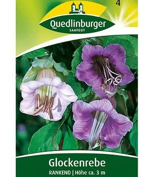 Quedlinburger rankende glockenrebe 1 portion g nstig online kaufen mein sch ner garten shop - Rankende zimmerpflanzen ...