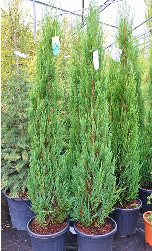 Raketenwacholder (Blue Arrow) - Juniperus scopulorum Blue Arrow