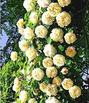 "Rambler-Rose ""Alchymist"",1 Pflanze"