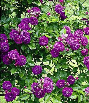 "Rambler-Rose ""Bleu Magenta"",1 Pflanze"