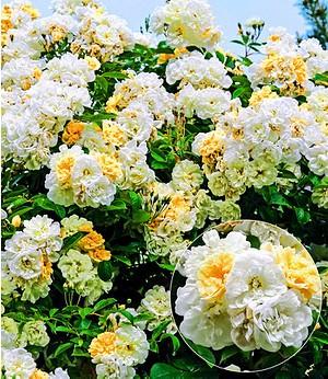 "Rambler-Rose ""Christine Helene"",1 Pflanze"