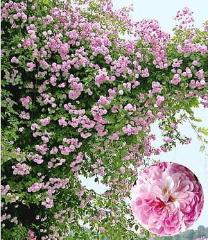 "Rambler-Rose ""Paul's Himalayan Musk Rambler"",1 Pflanze"